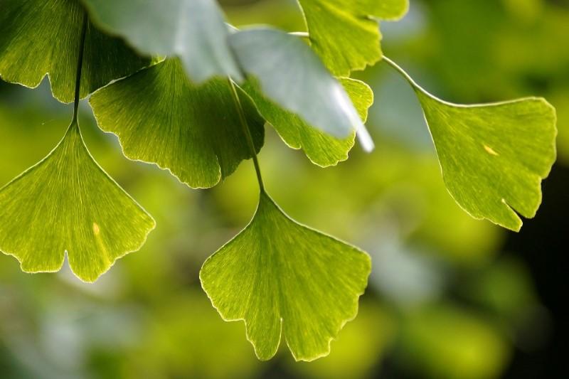 Ginkgo biloba hilft dabei, das Gedächtnis und die geistigen Fähigkeiten zu erhalten